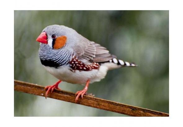 Бесплатно отдам трех птичек (Амадины)