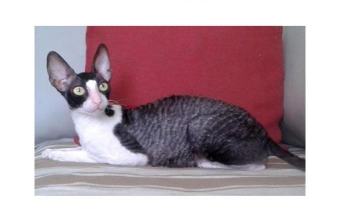 Кудрявые котята Корниш рекс
